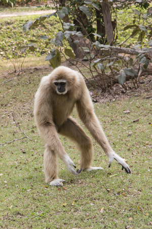 handed gibbon: Lar gibbon walking on the ground