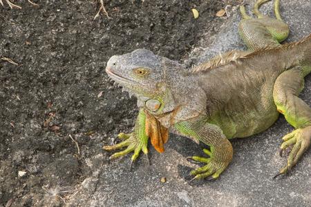 dissimulation: Big green iguana climbing on the ground Stock Photo