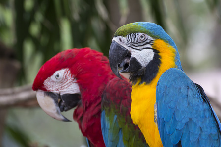 Couple of the colorful macaw photo