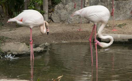 graceful: Graceful Pink flamingo, beautiful bird Stock Photo