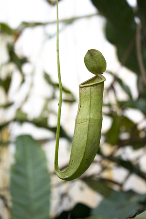 mirabilis: Pitcher plant, nepenthes mirabilis in the forest Stock Photo