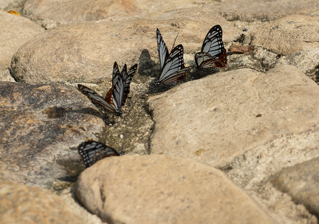 sucking: Butterflies sucking mineral on the rock near natural spring