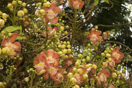 Cannon ball tree with flowers, Couroupita guianensis Stock Photo