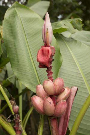 Velvet pink banana, Musa velutina Stock Photo