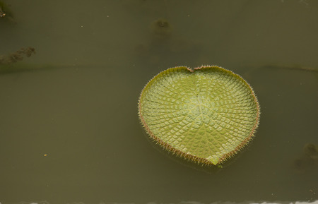 Big green leaf of Victoria in the pond