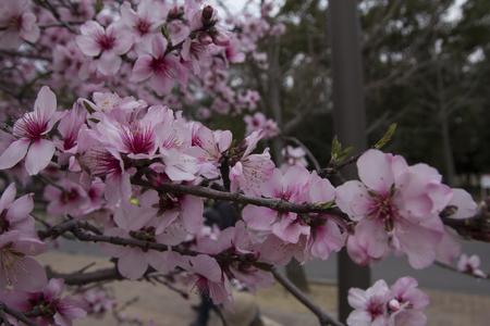 Pink cherry blossom or Sakura of Japan