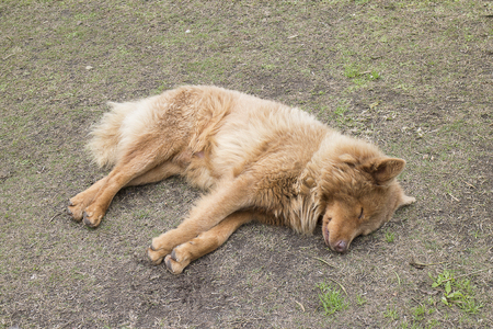 Brown long-haired dog lying in the field