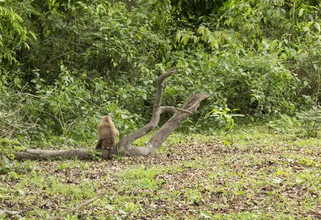 Brown monkey sitting in the forest