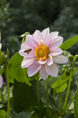 Bee flying around the flower and pollinating