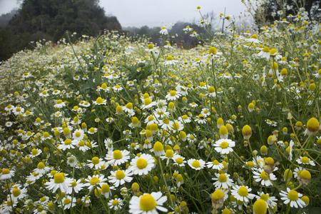 Field of beautiful Chamomile flowers