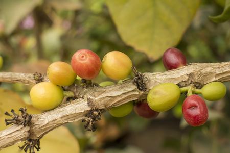 Fresh coffee beans on th