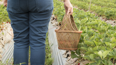 Back side of woman holding  basket for picking strawberries Stock Photo