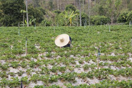 Women wearing big hat picking strawberries in Chiangmai Stock Photo