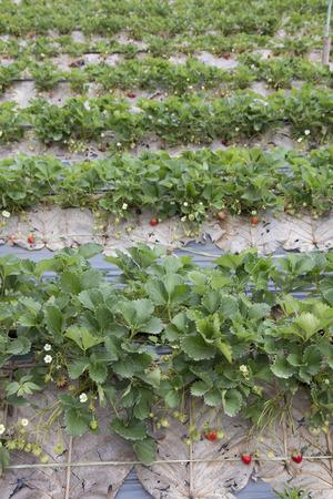 Strawberry farm in Chiangmai, Thailand Stock Photo