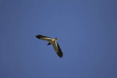 Red-wattled lapwing flying in the sky Stock Photo