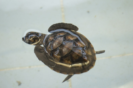 small reptiles: Baby sea turtle in conservation center