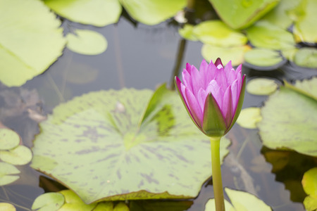 Pink lotus in the pond