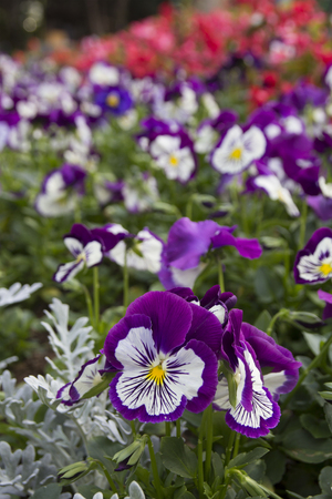 Violet Pansy flowers in the garden