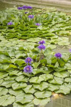 Purple lotus or water lily with green leaves in the pond