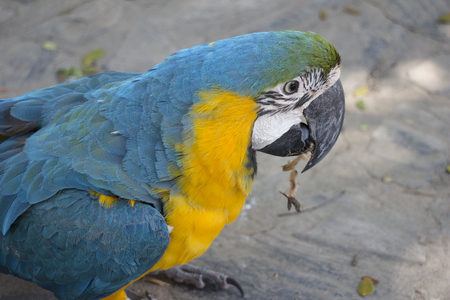 Blue-and-yellow macaw eating the grain