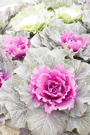 Colorful ornamental cabbage, pink and green color