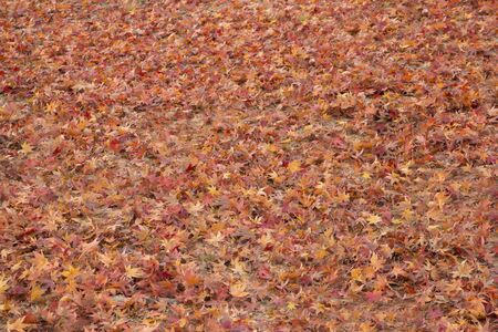 Dried maple leaves fallen on the ground in autumn Stock Photo
