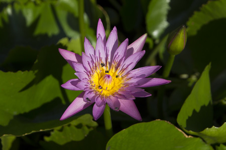 Bee swarming on lotus flower or water lily
