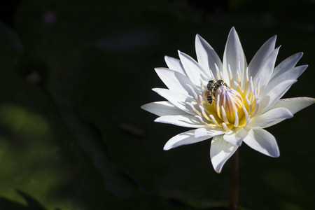 Bees breeding on lotus flower or water lily Stock Photo