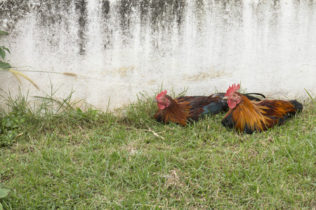 Two bantams lying in the grass