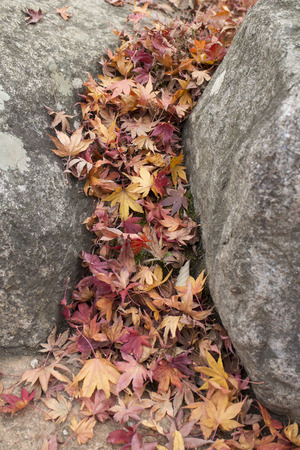 Dry maple leaves fell between the rocks