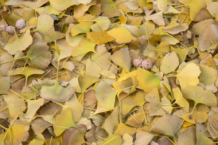 Dried ginkgo leaves fallen on the ground in autumn