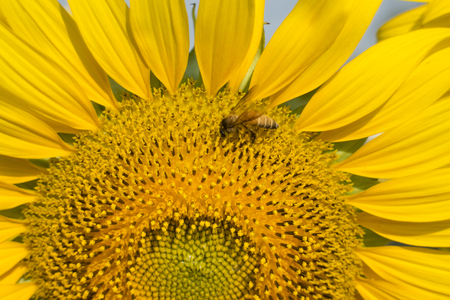 Bee swarming on yellow sunflower