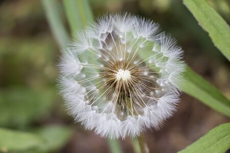 Beautiful white dandelion in the field Stock Photo