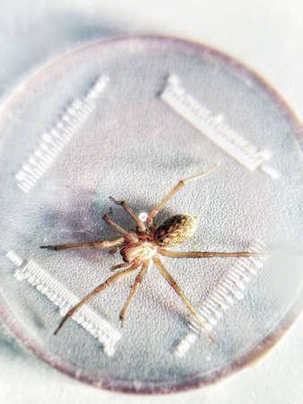 Spider in Labor