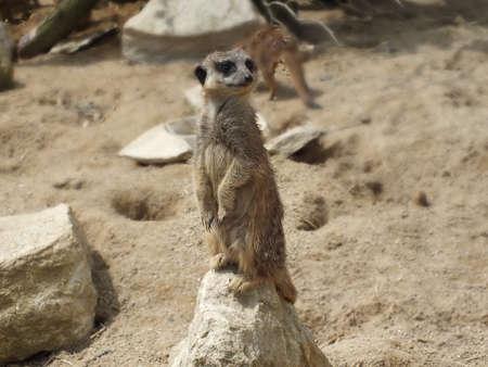 observant: Observant little Meerkat