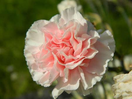singular: carnation singular