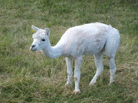 the lama: lama eating grass