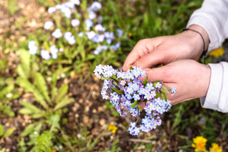 A woman collects blue flowers in a clearing. Female hands and forgetmenot flowers.