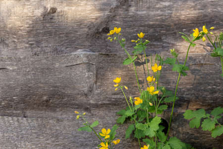 Yellow wildflowers on wooden background. High quality photo
