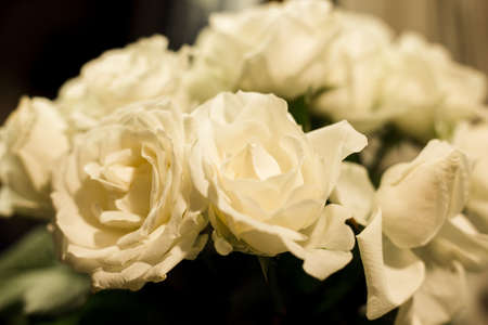 White roses on a white and gray background