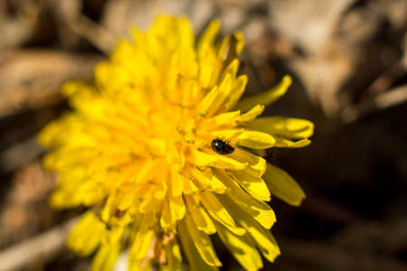 Yellow dandelion. Summer flower. Macto shooting. High quality photo