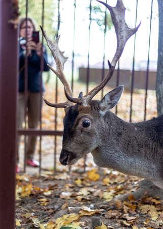 Fallow deer at the zoo. Horned deer.