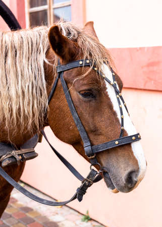 Head of a brown horse with a mane