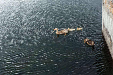 Parents of a duck and two ducklings