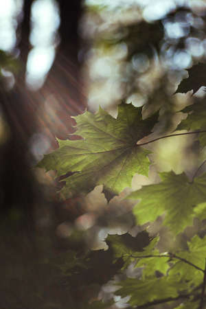 Maple leaf in sunlight in the forest Stock fotó