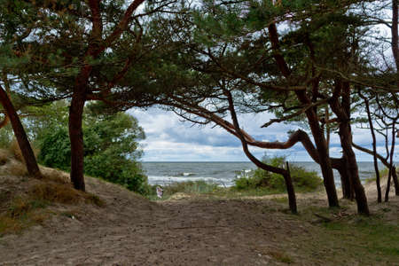 Pines on the shore of grief. Seascape in the Baltics.