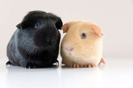 Pair of cute guinea pig girls photo