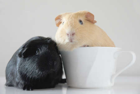 Two cute guinea pigs and a cup photo