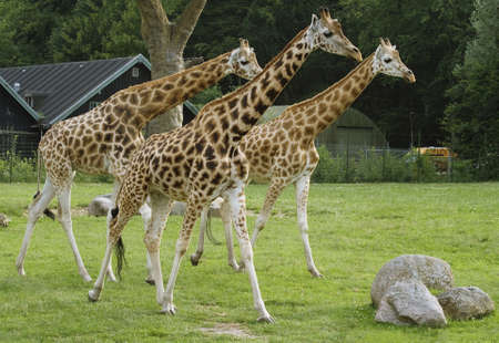 curiously: Three giraffes in a zoo staring curiously at something