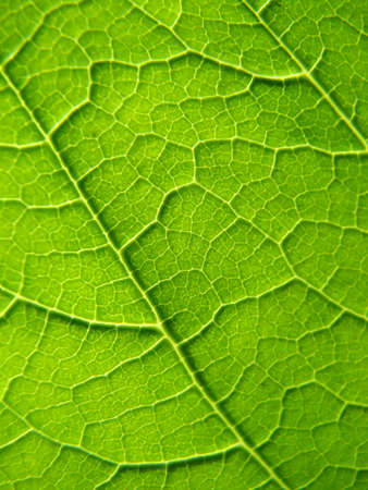 Texture of a green leaf in the sunlight   photo